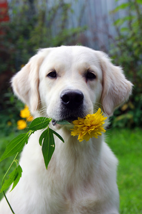 golden retriever con flor